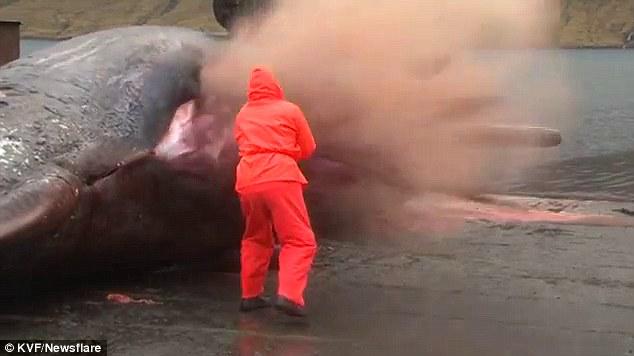 丹麦抹香鲸尸体被切割时突然爆炸 抹香鲸尸体为什么会爆炸